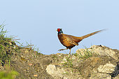 Pheasant (Phasianus colchicus) on hill, Springtime, Male, Hesse, Germany, Europe