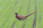 Pheasant (Phasianus colchicus) on field, Springtime, Male, Hesse, Germany, Europe