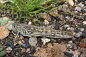 African locust (Locusta migratoria) on ground, Lanzarote, Canary Islands