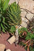 Short-Leaf Aloe (Aloe brevifolia), Lanzarote, Canary Islands