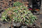 Krantz Aloe (Aloe arborescens), Lanzarote, Canary Islands