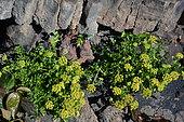 Sea lettuce (Astydamia latifolia) in bloom, Lanzarote, Canary Islands