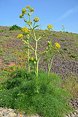Canarian giant fennel (Ferula lancerottensis) in bloom, Lanzarote, Canary Islands