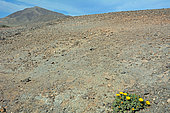 Lanzarote Gold coin daisy (Asteriscus intermedius), Lanzarote, Canary Islands