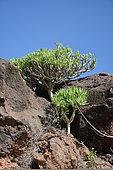 Berode (Kleinia neriifolia), Lanzarote, Canary Islands