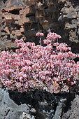 Groundsel (Senecio coccineiflorus) in bloom, Lanzarote, Canary Islands