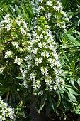 Famara Bugloss (Echium famarae) in bloom, Lanzarote, Canary Islands