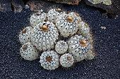 Copiapoa (Copiapoa cinerea) columna alba, native to Chile, Lanzarote, Canary Islands