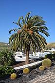 Barrel cactus (Echinocactus grusonii), native to Mexico, and Canary island date palm (Phoenix canariensis), Lanzarote, Canary Islands