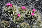 Rainbow pincushion (Mammillaria rhodantha), native to Mexico, Lanzarote, Canary Islands