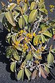 Copper Spoon (Kalanchoe orgyalis), native to Madagascar, Lanzarote, Canary Islands