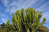 Desert Candle (Euphorbia acrurensis), lanzarote, Canary islands