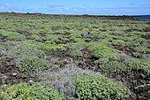 Balsam Spurge (Euphorbia balsamifera), Lanzarote, Canary Islands