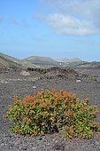 Canary Island Sorrel (Rumex lunaria), Lanzarote, Canary Islands