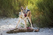 Black backed jackal (Canis mesomela) eating his prey in Kgalagadi transfrontier park, South Africa