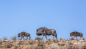 Three Blue wildebeests (Connochaetes taurinus) walking on top of the dune in Kgalagadi transfrontier park, South Africa