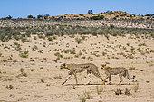 Cheetah (Acinonyx jubatus) female and cub walking in desert in Kgalagadi transfrontier park, South Africa
