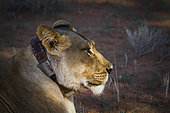 African lioness (Panthera leo) portrait with radio collar in Kgalagadi transfrontier park, South Africa