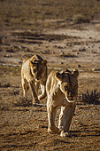 Two African lioness (Panthera leo) running front view in Kgalagadi transfrontier park, South Africa