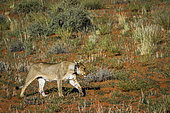 African lioness (Panthera leo) with tracking collar walking in Kgalagadi transfrontier park, South Africa