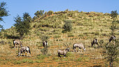 Small group of South African Oryx (Oryx gazella) grazing in arid land in Kgalagadi transfrontier park, South Africa