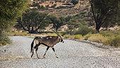 South African Oryx crossing safari gravel road in Kgalagadi transfrontier park, South Africa; specie Oryx gazella family of Bovidae