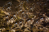 Herd of Springbok (Antidorcas marsupialis) grazing in backlit in Kgalagari transfrontier park, South Africa