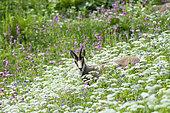 Vosges chamois (Rupicapra rupicapra) in flowers, Hautes chaumes, hohneck, Vosges, France