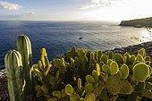Bay with cacti at front, Laguna de Santiago, La Gomera, Canary Islands, Spain, Europe