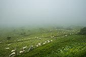 Boulonnais sheep in the mist at Cap Blanc-Nez in spring, Pas de Calais, France