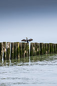 Great cormorant (Phalacrocorax carbo) drying on a stake, spring, Sangatte, Pas de Calais, France