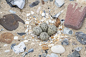 Nest of Common ringed plover (Charadrius hiaticula) on the beach at Sangatte in spring, Pas de Calais, France