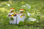 Rhubarb 'Victoria' plants, spring, Pas de Calais, France