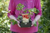 Cirano' strawberry plants, spring, Pas de Calais, France