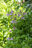 Common columbine (Aquilegia vulgaris) in bloom in a garden, spring, Pas de Calais, France