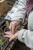 Woman sowing organic courgette seeds 'Genovese' in cups, spring, Moselle, France