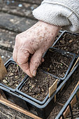 Woman sowing 'Coeur de boeuf' tomato seeds in cups, spring, Moselle, France