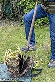 Splitting an Agapanthus (Agapanthus sp) at spring, France