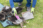 Splitting an Agapanthus (Agapanthus sp) at spring,, healing with wood ash France