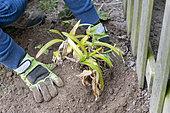 Splitting an Agapanthus (Agapanthus sp) planting, spring, France