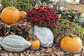 Halloween decoration: Various gourds and Chrysanthemums, autumn, Germany