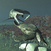 Tylosaurus proriger preying on a giant Archelon sea turtle. Archelon was about 13 feet long and 16 feet wide, flipper to flipper with their shells being about 11 feet by 11 feet. It's closest modern relative is the leatherback sea turtle.