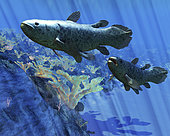 Two Coelacanth fish swimming undersea. The Coelacanth fish was believed to have become extinct during the Cretaceous Period, but have been discovered to still be living.