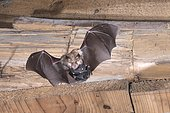 Lesser horseshoe bat (Rhinolophus hipposideros), female in flight with young hanging on mother's belly, extremely endangered species in Central Europe, Thuringia, Germany, Europe