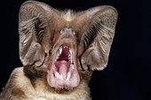 Large-eared Free-tailed Bat (Otomops martiensseni), portrait, Kenya, Africa