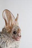 African heart-nosed bat (Cardioderma cor), portrait, Tsavo National Park, Kenya, Africa