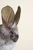 Hairy Slit-Faced Bat (Nycteris hispida), portrait, Kenya, Africa