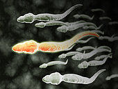 Microscopic view of sperm traveling.