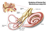 Anatomy of human ear, membranous labyrinth.