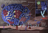 3D image illustrating the very beginning stages of an influenza (flu) infection. Most experts think that influenza viruses spread mainly through small droplets containing influenza virus. These droplets are expelled into the air when people infected with the flu, cough, sneeze or talk. Once in the air, these small infectious droplets can land in the mouths or noses of people who are nearby. This image shows what happens after these influenza viruses enter the human body. The viruses attach to cells within the nasal passages and throat (i.e., the respiratory tract). . The influenza virus's hemagglutinin (HA) surface proteins then bind to the sialic acid receptors on the surface of a human respiratory tract cell. The structure of the influenza virus's HA surface proteins is designed to fit the sialic acid receptors of the human cell, like a key to a lock. Once the key enters the lock, the influenza virus is then able to enter and infect the cell. This marks the beginning of a flu infection.